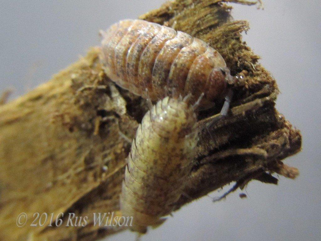 calico sowbugs