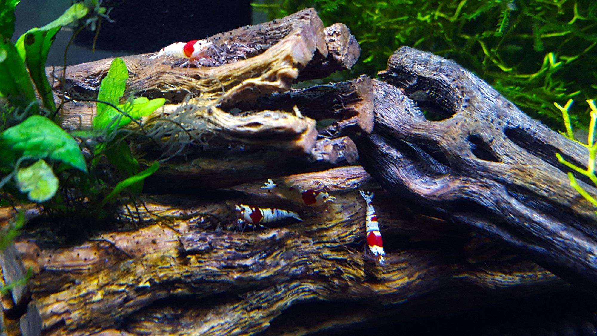 shrimp5_1