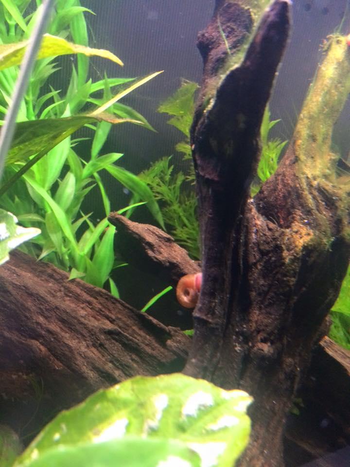 driftwood snails