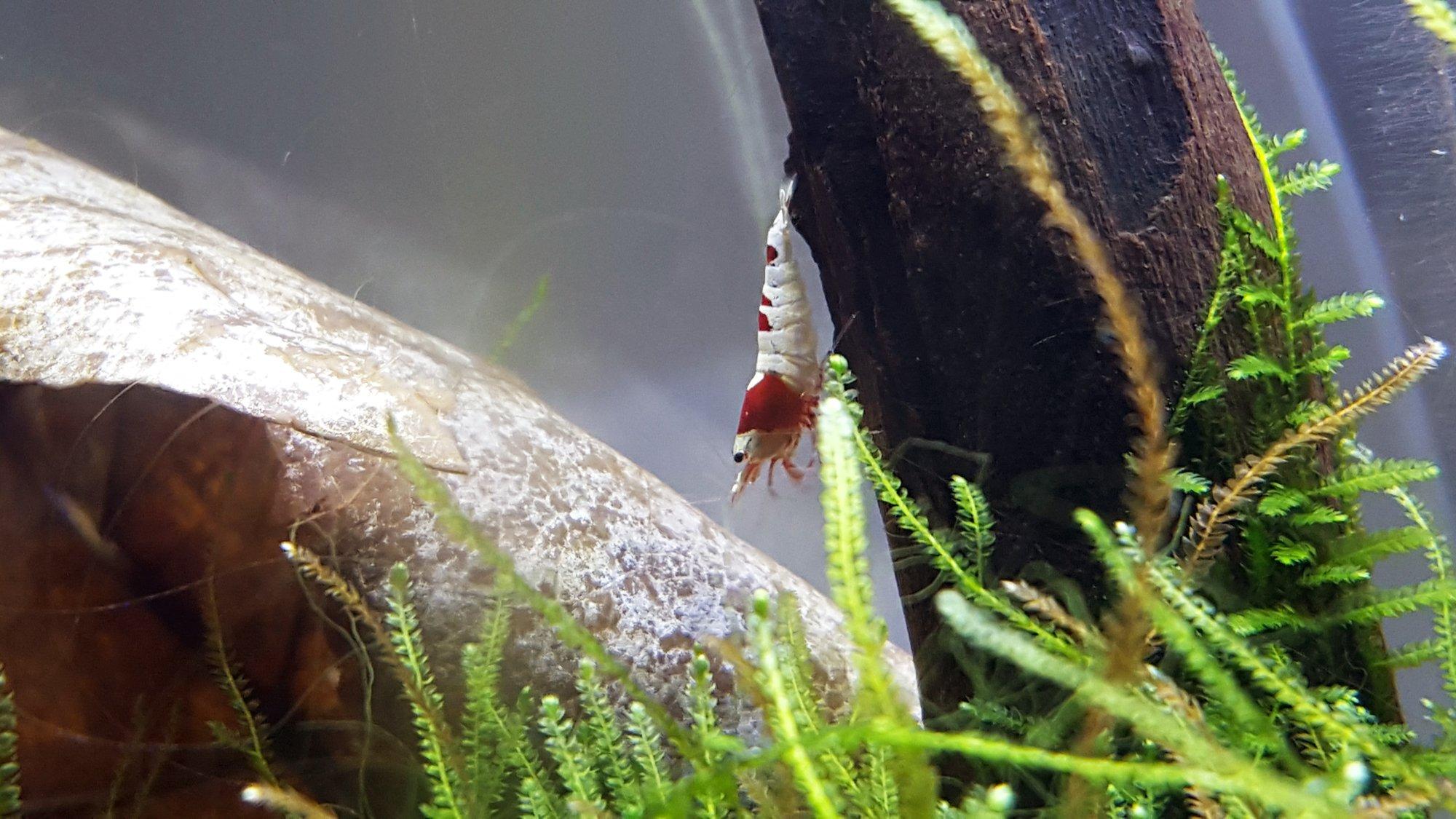 shrimp14