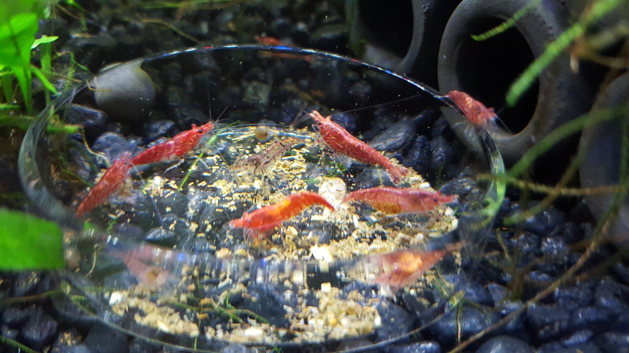 shrimp15